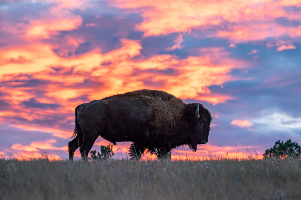 A bison framed by the setting sun.