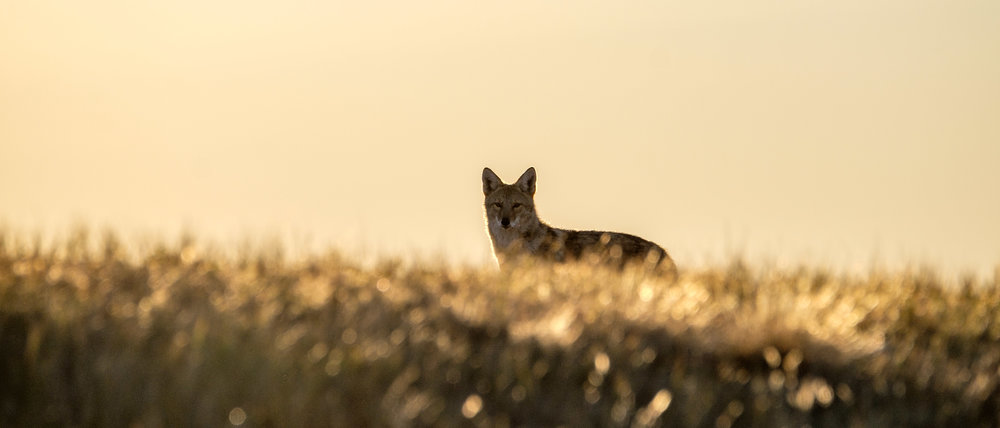Meeting with a coyote at dawn.