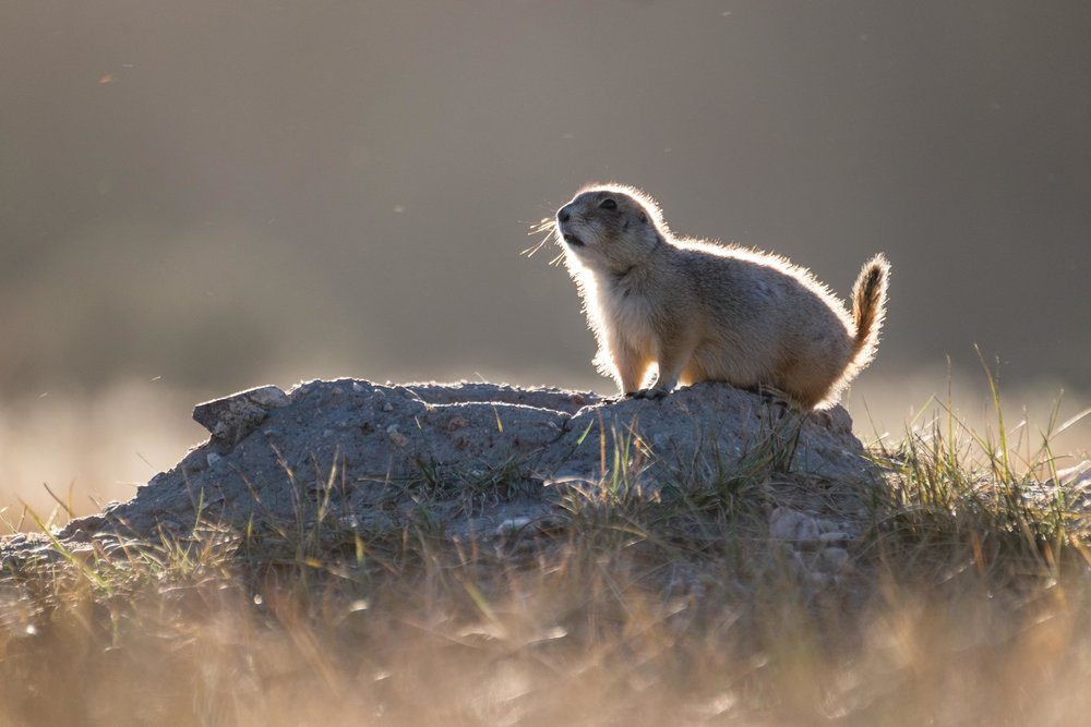 A prairie dog hops out of his mound to see what's going on.