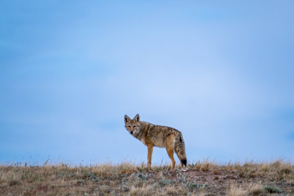 Coyote at Wind Cave National Park in South Dakota.