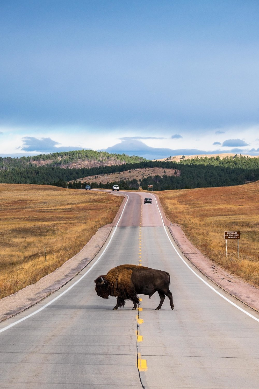 Bison rule the road Bison at Wind Cave National Park in South Dakota.