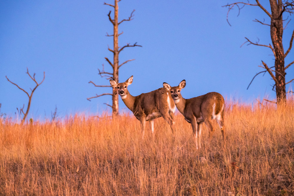 Mule deer Bison at Wind Cave National Park in South Dakota.