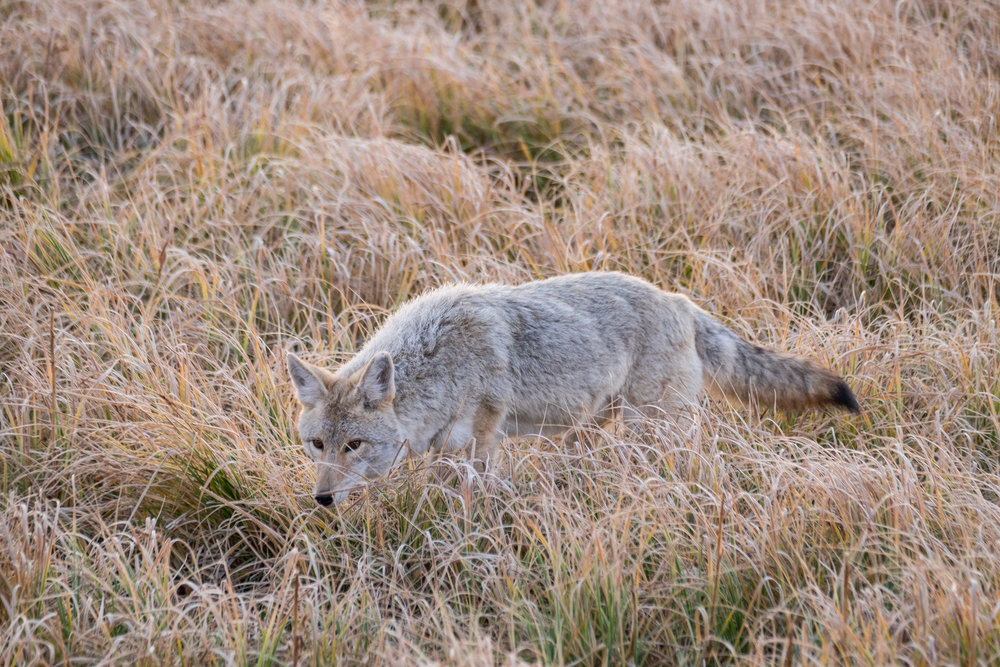 A coyote in Yellowstone National Park in Wyoming.