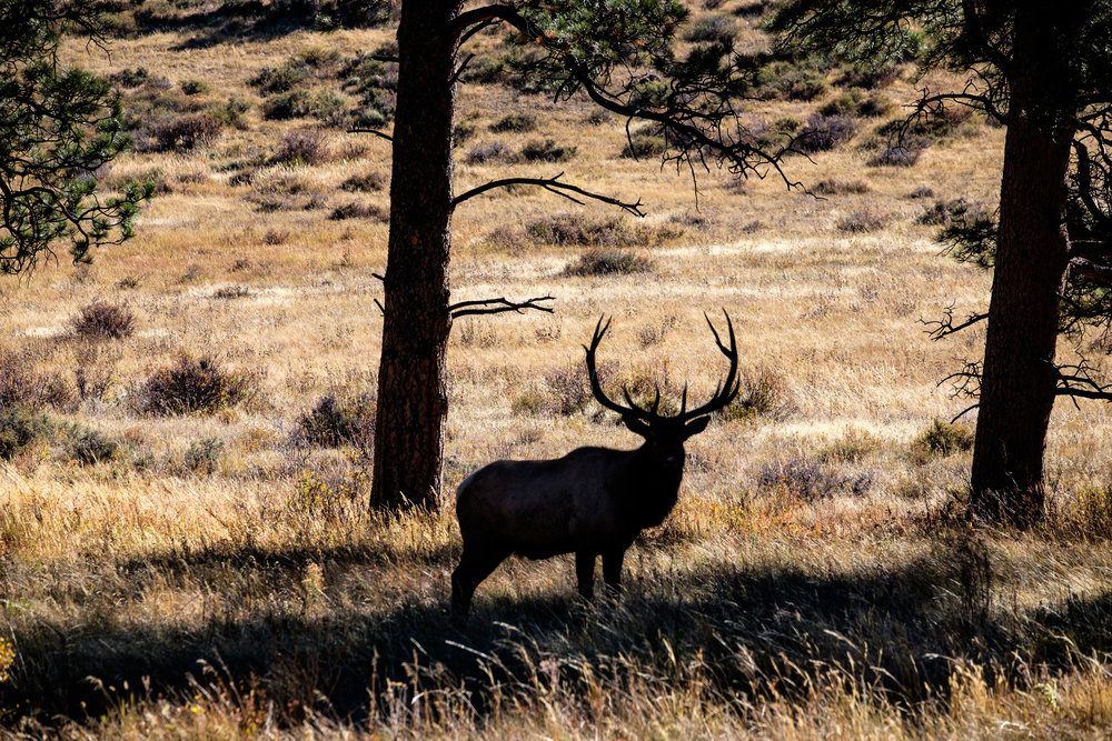 Elk during annual rut (mating season) in Rocky Mountain National Park in Colorado.
