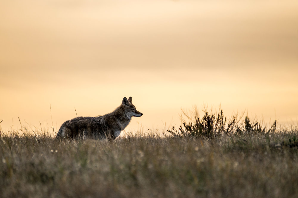 A coyote scans the landscape at dusk.