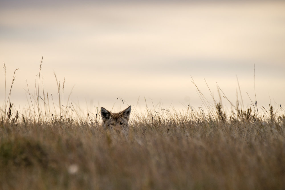 Where there are prairie dogs, there are often coyotes, who relish the prairie dogs as a somewhat easy catch for a meal.