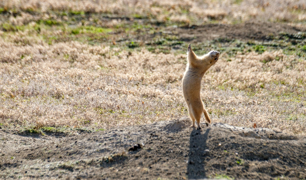 A prairie dog alerting his friends to our presence.