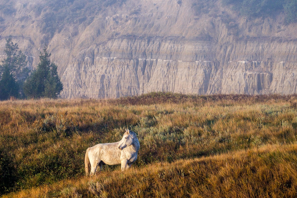 Feral horses at Theodore Roosevelt National Park, most commonly seen in the south unit.