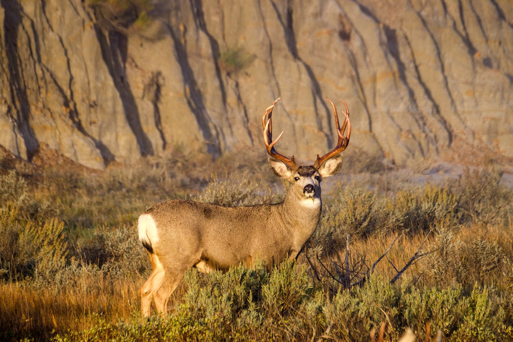 A fully grown male mule deer.