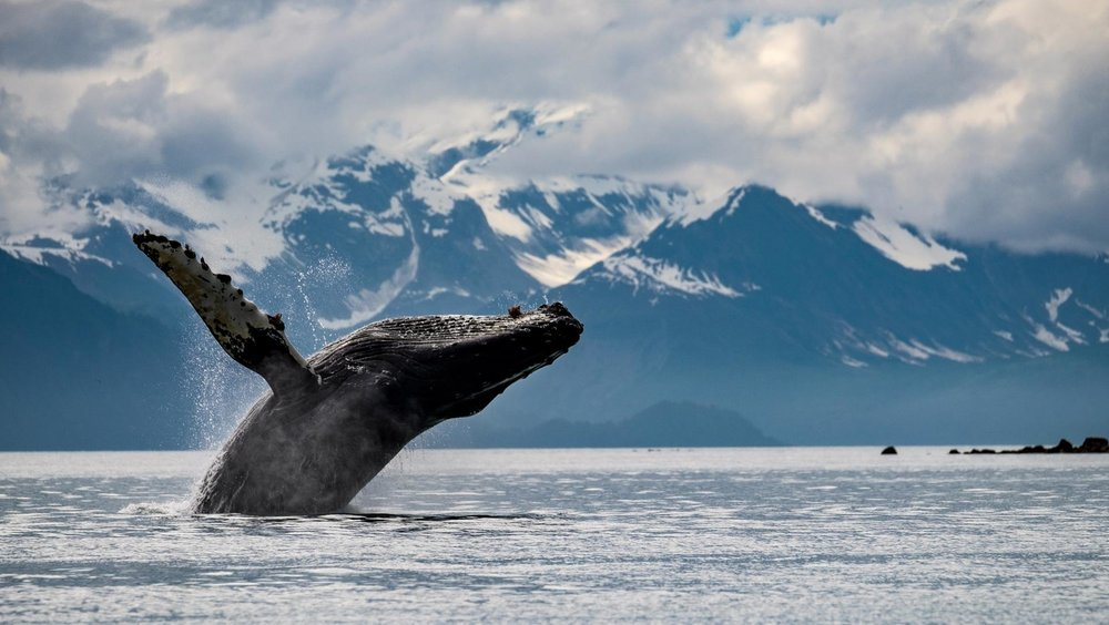glacier-bay-national-park-icy-strait-humpack-whale-breach.ngsversion.1479478779738.adapt.1900.1.jpg