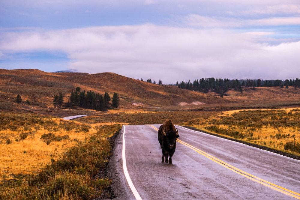 Bison rule the road at Yellowstone...