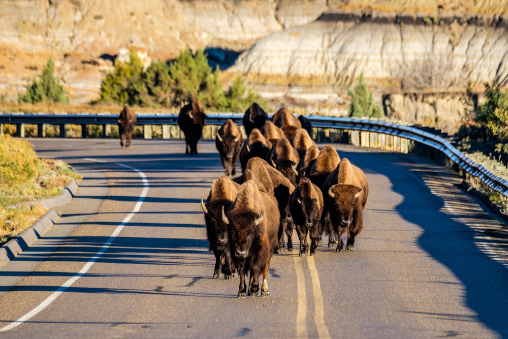 When the bison take to the road, there is nothing to do but wait (and take photos). Theodore Roosevelt National Park in North Dakota.