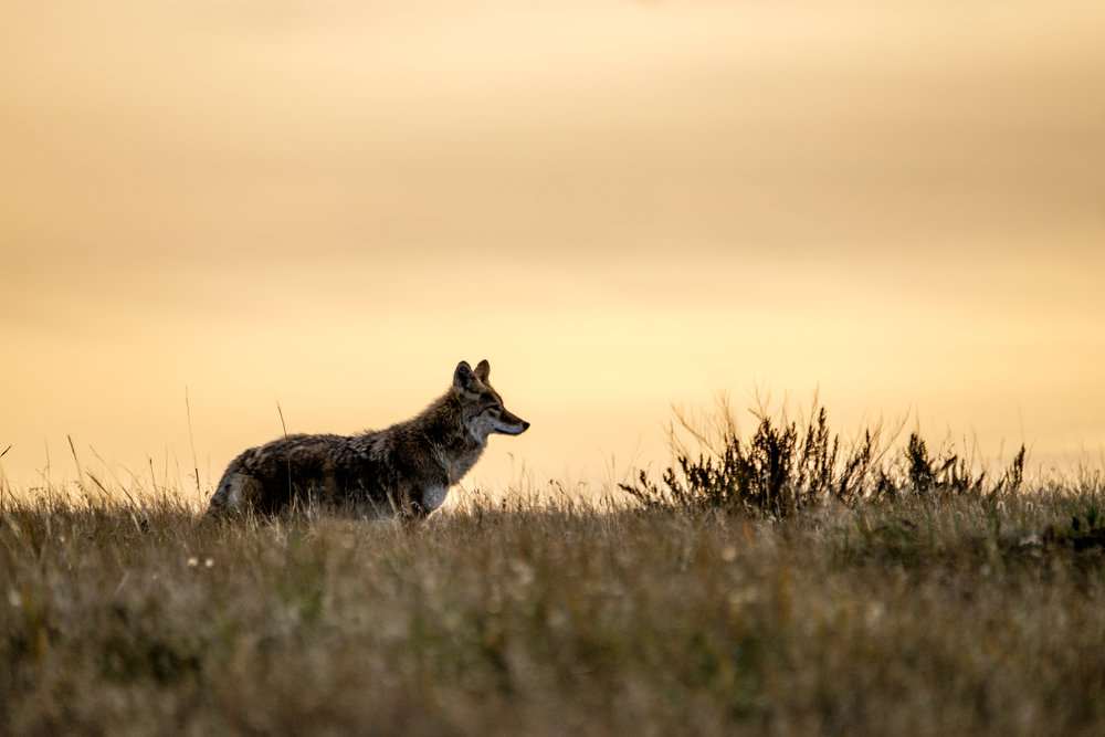 Coyote at Theodore Roosevelt National Park in North Dakota looking for his next meal.
