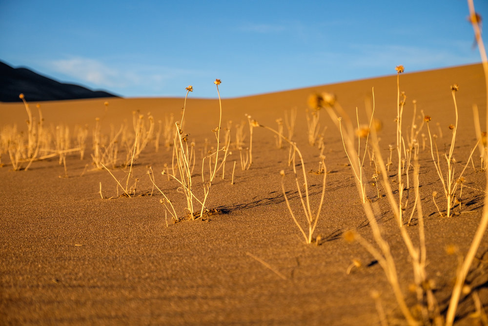"""Parabolic dunes"" have vegetation growing from the sand inhibiting movement of sand in certain areas."