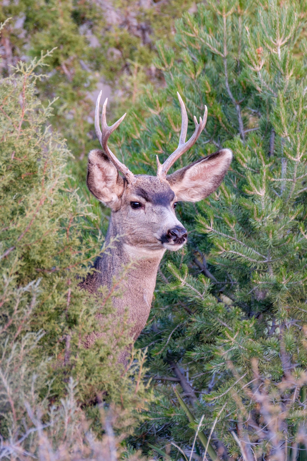 A mule deer peeks out of the brush on Mesa Top Loop Road.