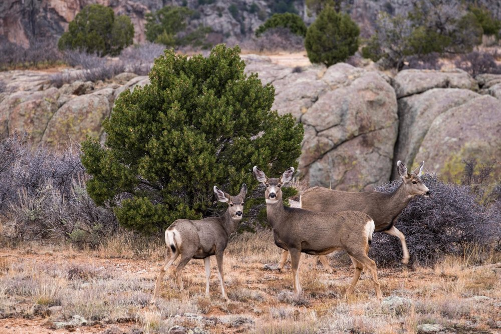 Mule deer spotted on South Rim Road.