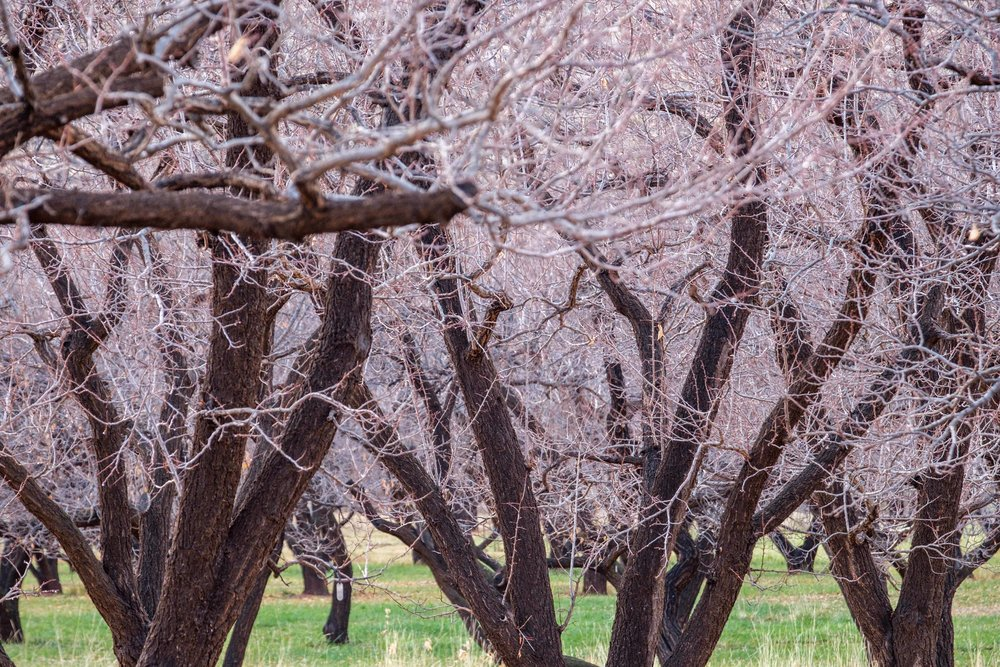 The historic orchards at Fruita during November.