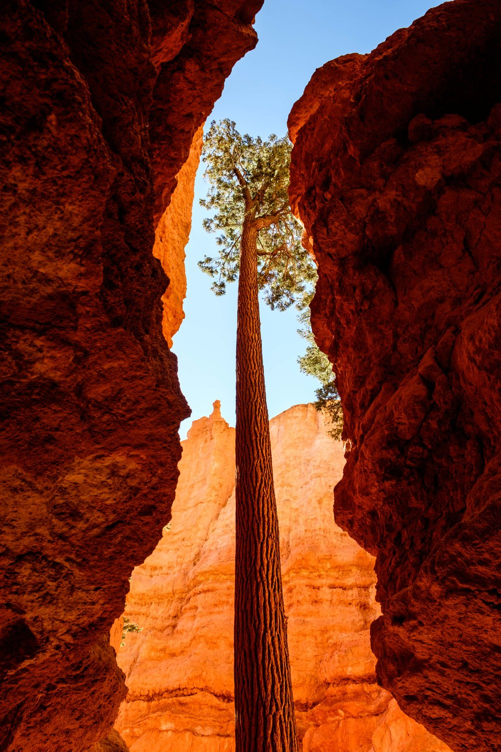 A centuries old fir tree rising from inside of the hoodoos in search of sunlight.