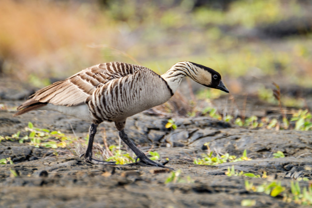 Be careful of the endangered Nene birds when driving the rim roads!