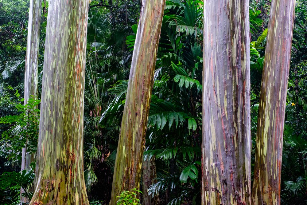 The painted Rainbow Eucalyptus trees.