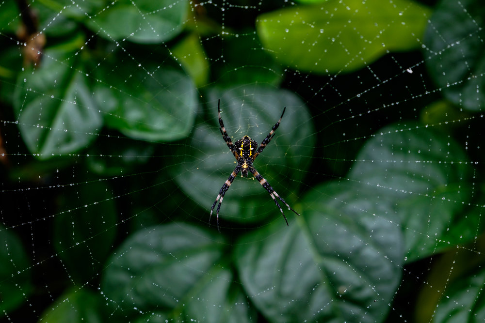 A large Hawaiin Garden Spider (Argiope appensa) rests on its web waiting for prey.