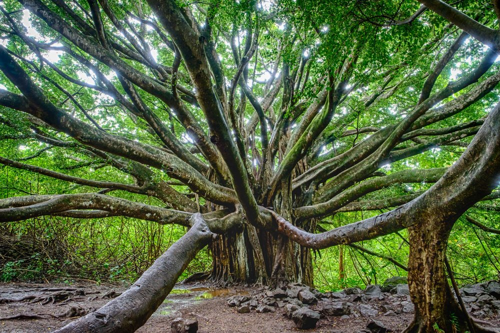 A giant Banyan Tree along the Pipiwai trail.