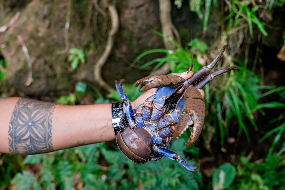 Coconut Crab hunting with a Ta'u local.