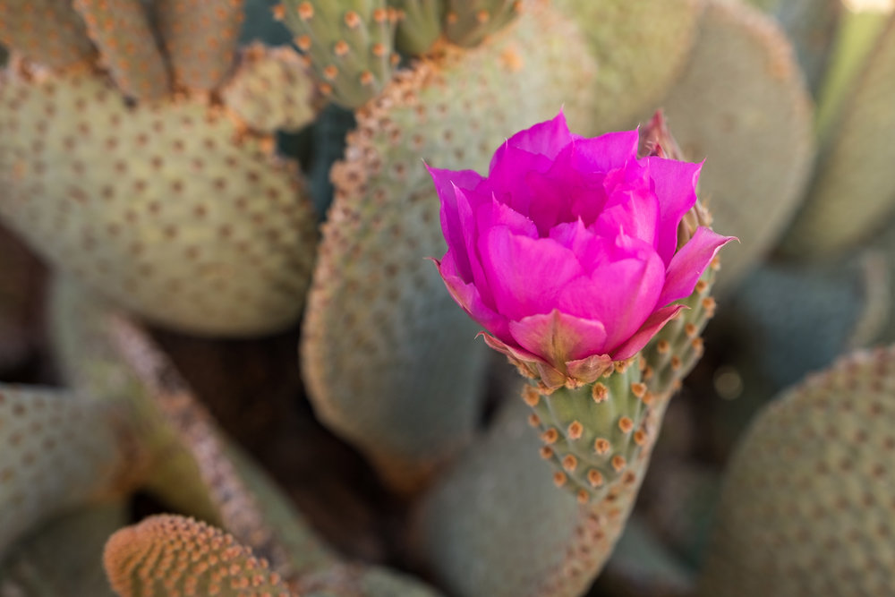 Pink desert bloom