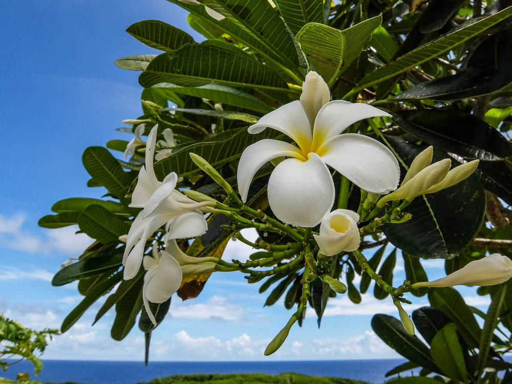 Plumeria in the National Park of American Samoa
