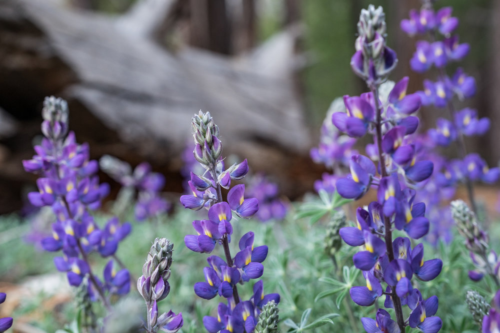 Purple wildflowers at Kings Canyon