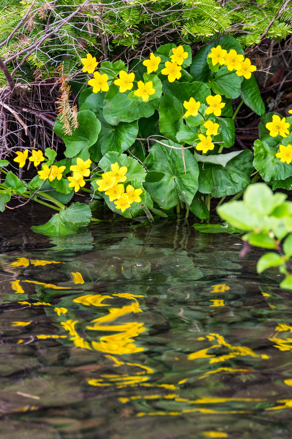 Yellow flowers in Isle Royale National Park in Michigan