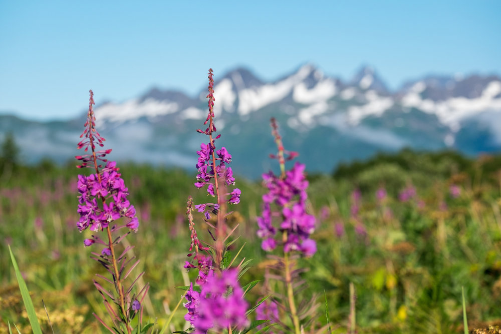 Fireweed in Katmai National Park and Preserve in Alaska. When it turns a deep brick color, it signifies the start of autumn.