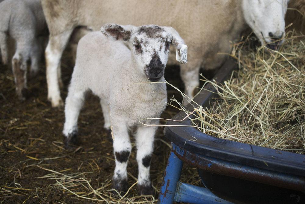 Pastured Lamb Madison Wisconsin