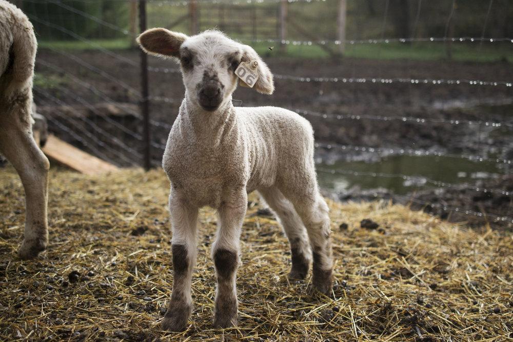grass-fed lamb Madison Wisconsin