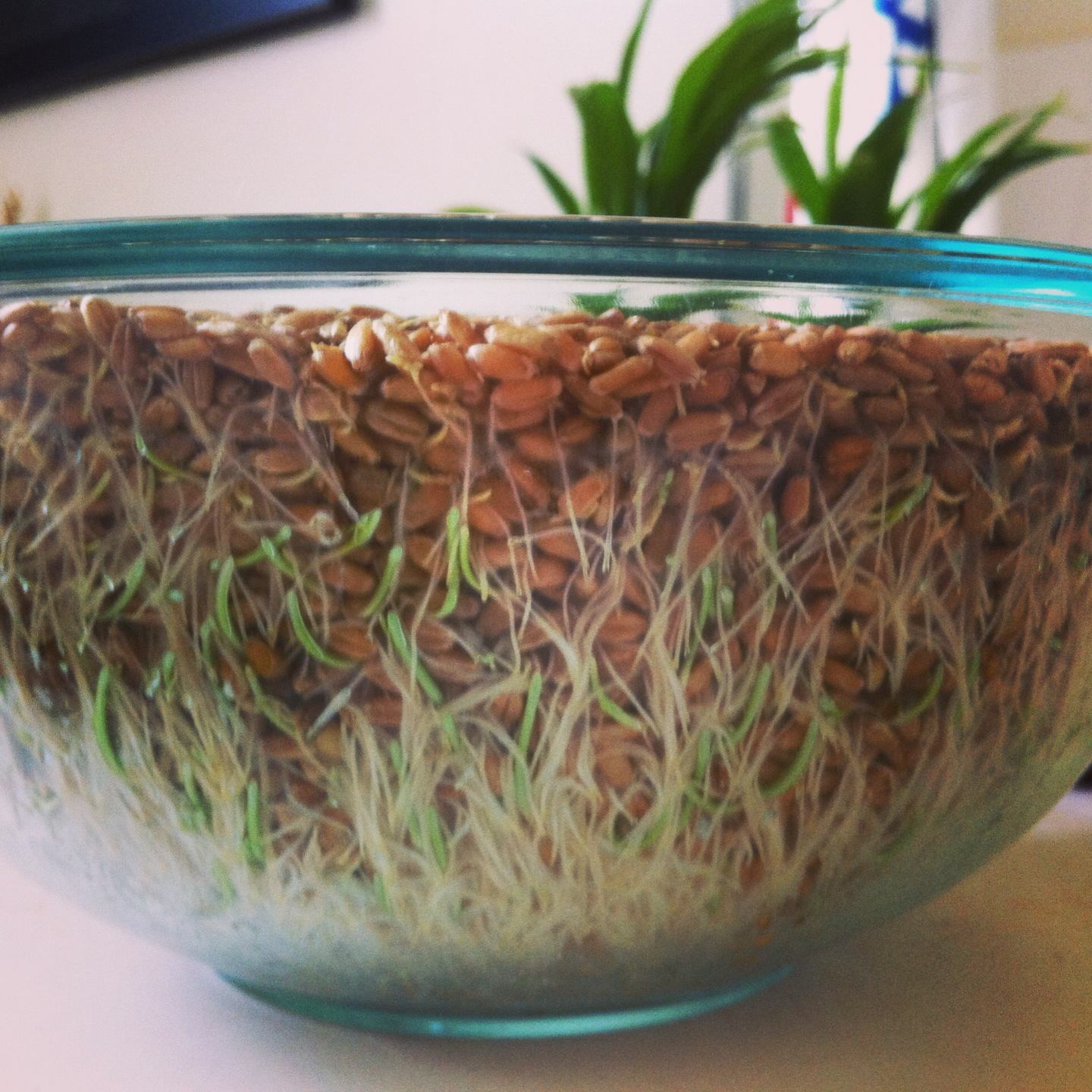sprouting wheatberries