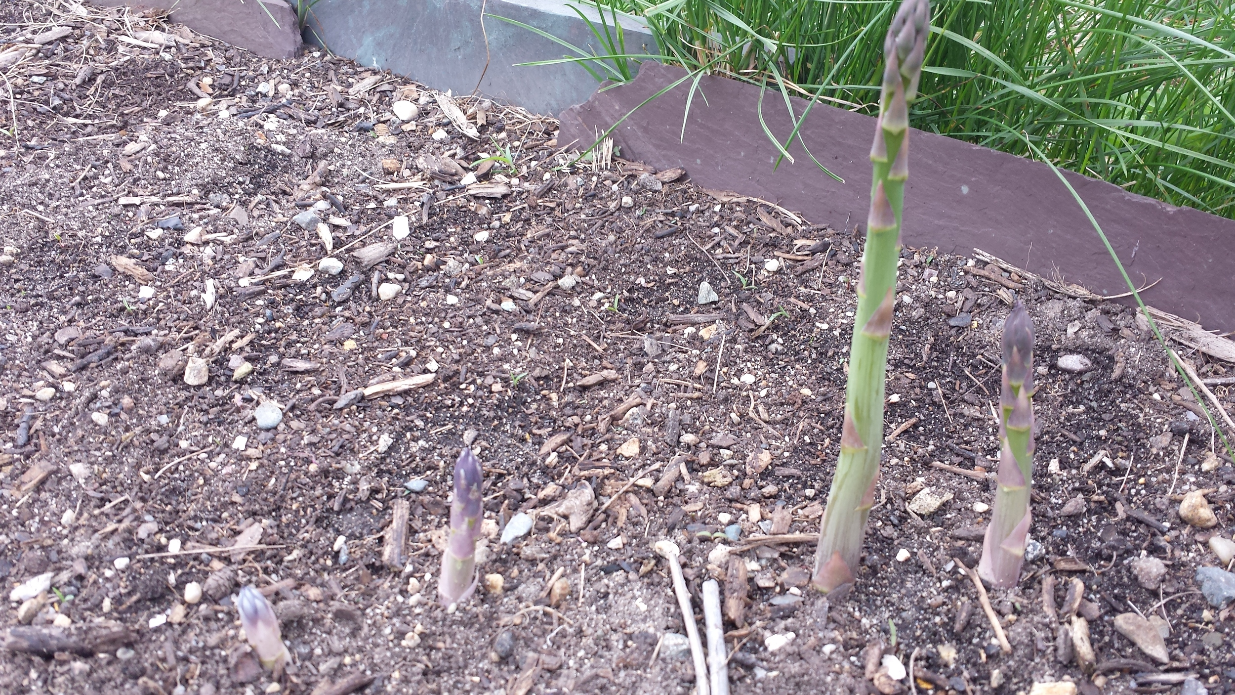 asparagus breaking ground