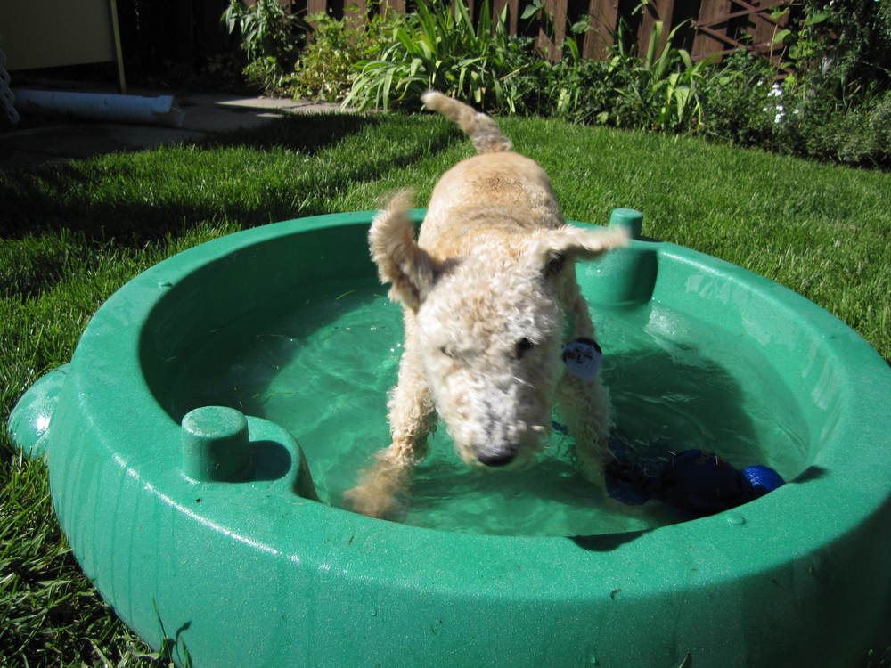 Maestro, like many Lakeland Terriers, loved the water. (Credit: R-M Arca).