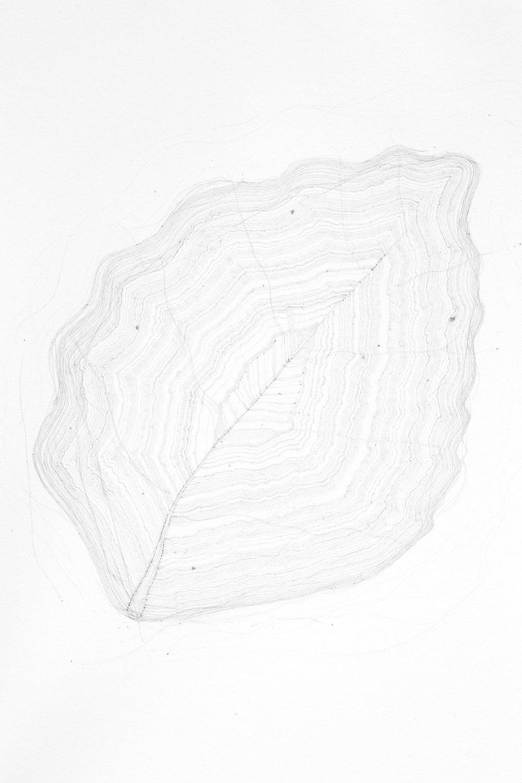 Life Drawing: Myrtle Beech, takayna/Tarkine