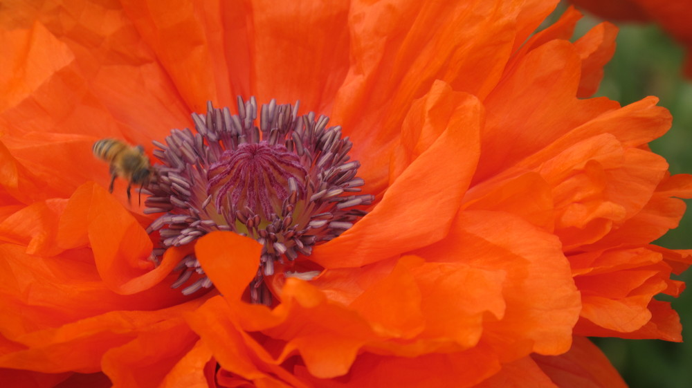 poppy up close.JPG
