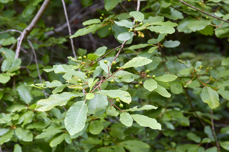 cascara sagrada: sacred bark of letting go | the school of forest, Skeleton