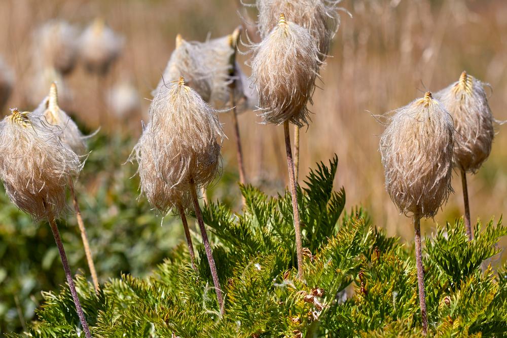 Western Pasqueflower (Pulsatilla)