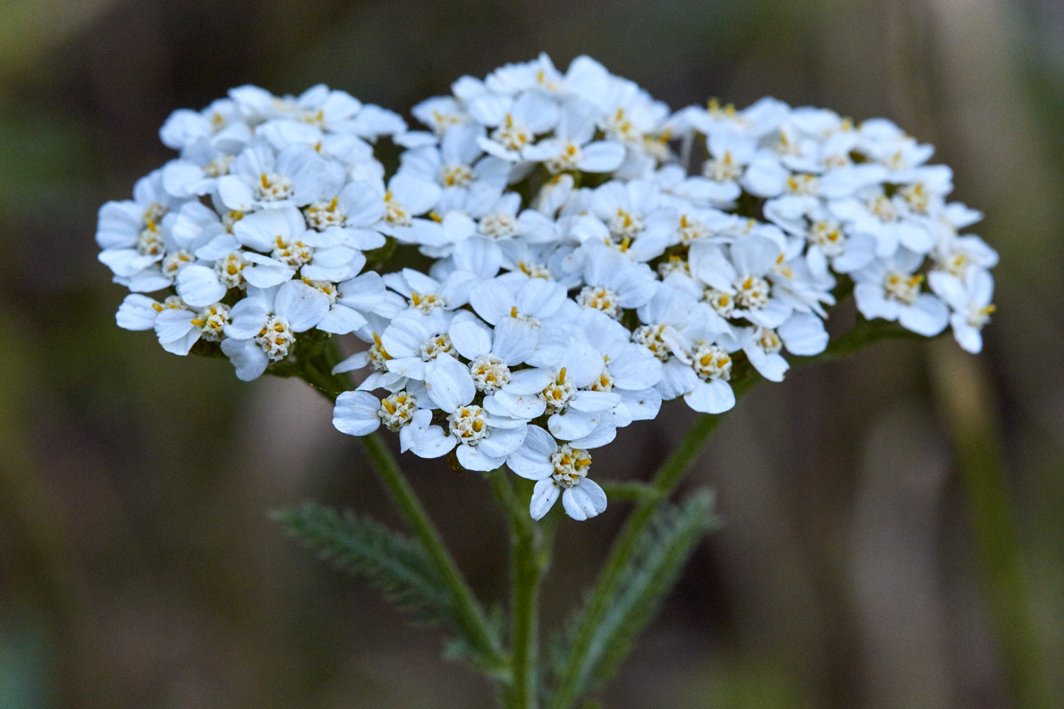 Yarrow And The Path Of The Magician The School Of Forest Medicine