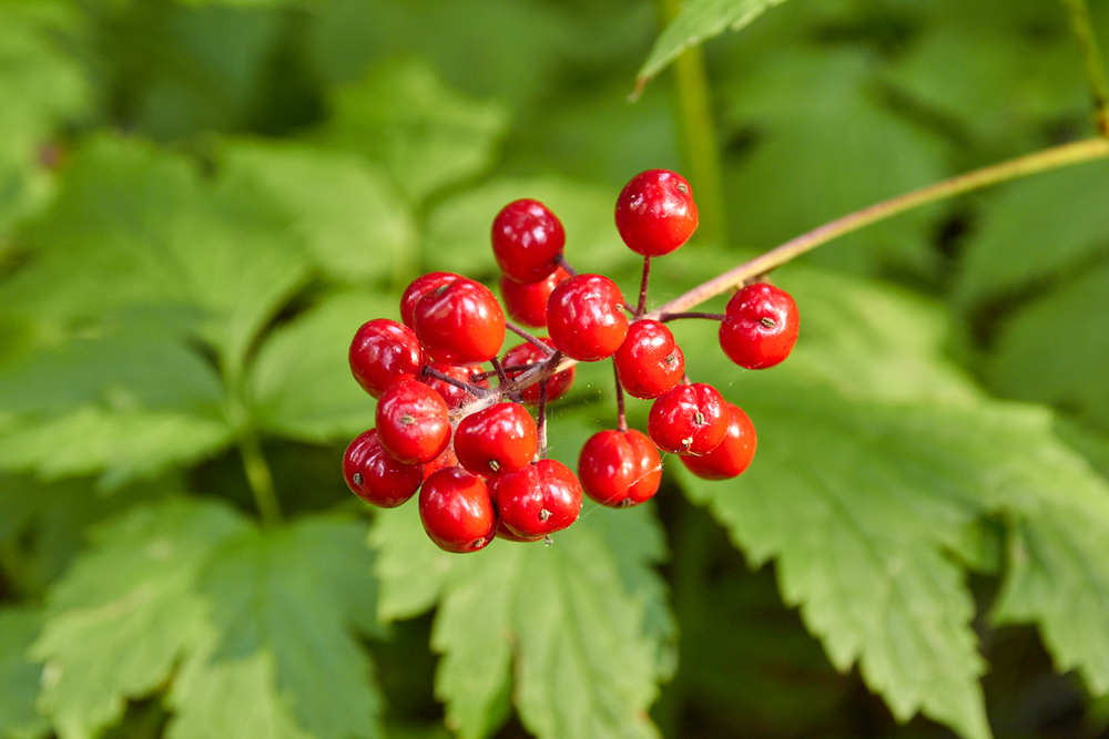 Baneberry's enticing but toxic berries live up to their name, but the roots and leaves are safe to consume. © Scott Kloos. 2015. All Rights Reserved.