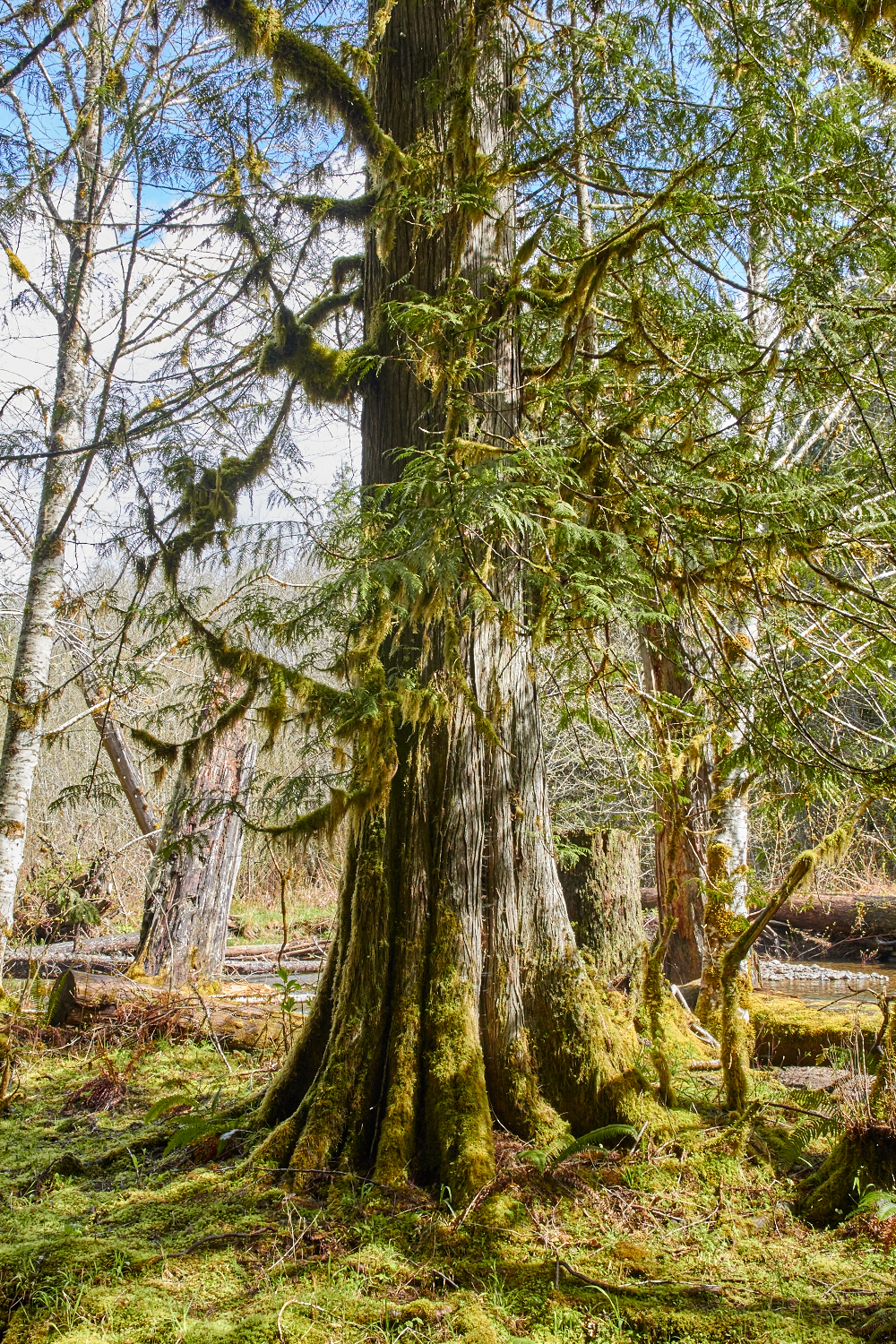 Western redcedar, the tree of life, stands tall and straight. © Scott Kloos. 2015. All Rights Reserved.