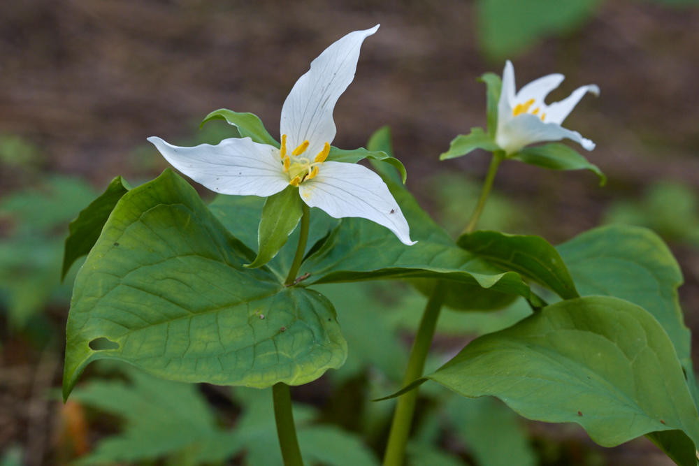 Because western trilliums grow so slowly, it is not ethical or sustainable to harvest the roots. © Scott Kloos. 2015. All Rights Reserved.