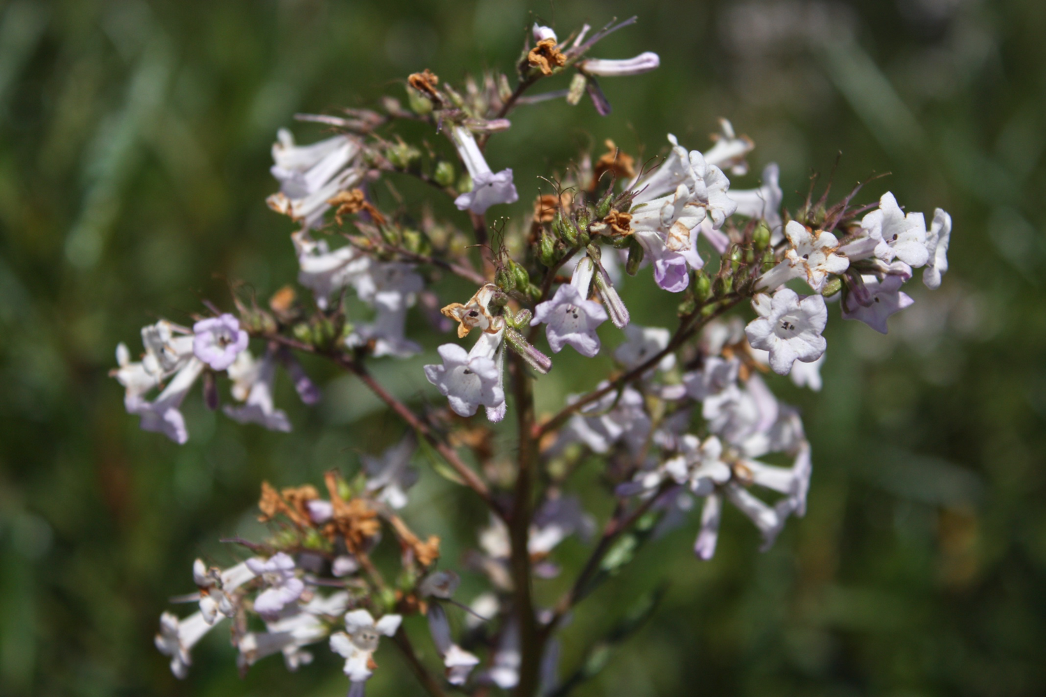 Yerba Santa The Holy Herb The School Of Forest Medicine