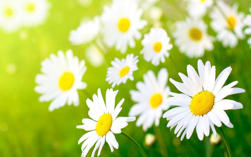 Daisys.jpg