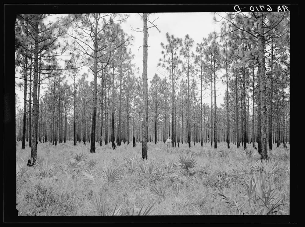 Pine forest near Waycross, GA, 1936. Library of Congress