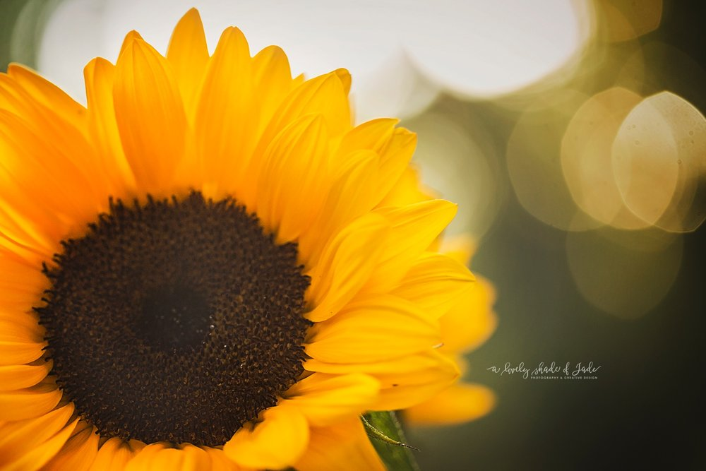 Sunflowers_Morristown_NJ_Photographer_0050.jpg
