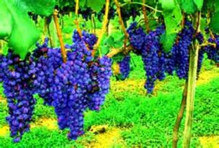 fruitful+vine.jpeg